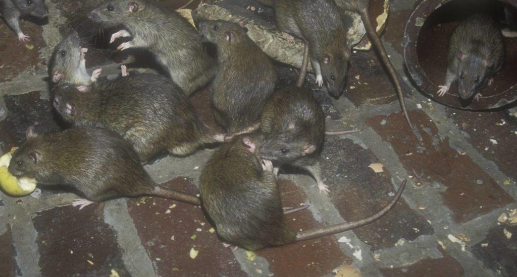 уничтожение крыс в Балашихе
